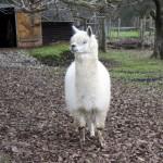 Immer häufiger bei uns anzutreffen. Ein Lama.