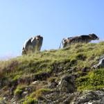 Kühe ohne Höhenangst