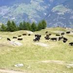 """Friedliche grasende Kühe beim Aussichtspunkt """"Schwarzi Blatte"""""""