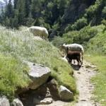 Sind das Wanderschafe oder wandernde Schafe?