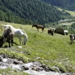 Pferde und Kühe in Eintracht
