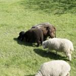 Friedliche Schafe