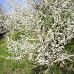 Blühendes Obst in Eglisau