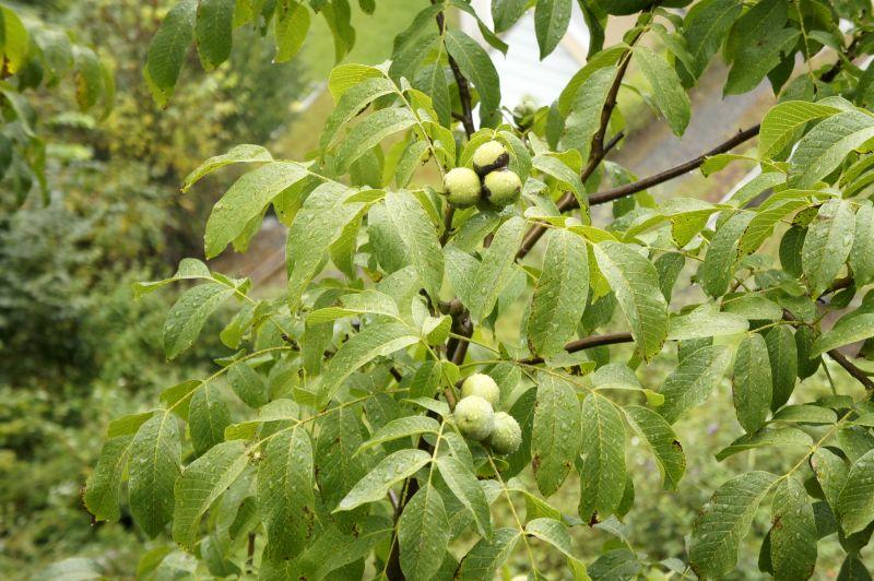 Die Nüsse sind bald reif